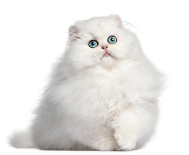 White-Persian-Cat