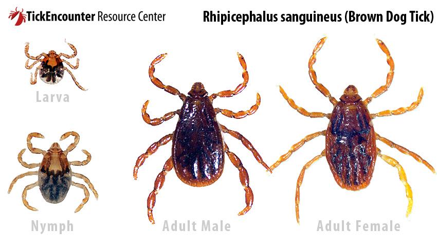Rhipicephalus_sanguineus